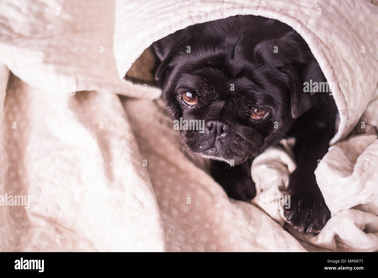 pug dog is having fun playing under the blanket. Lying on a brown couch, you look with tender eyes wrapped in a white blanket. - Stock Image