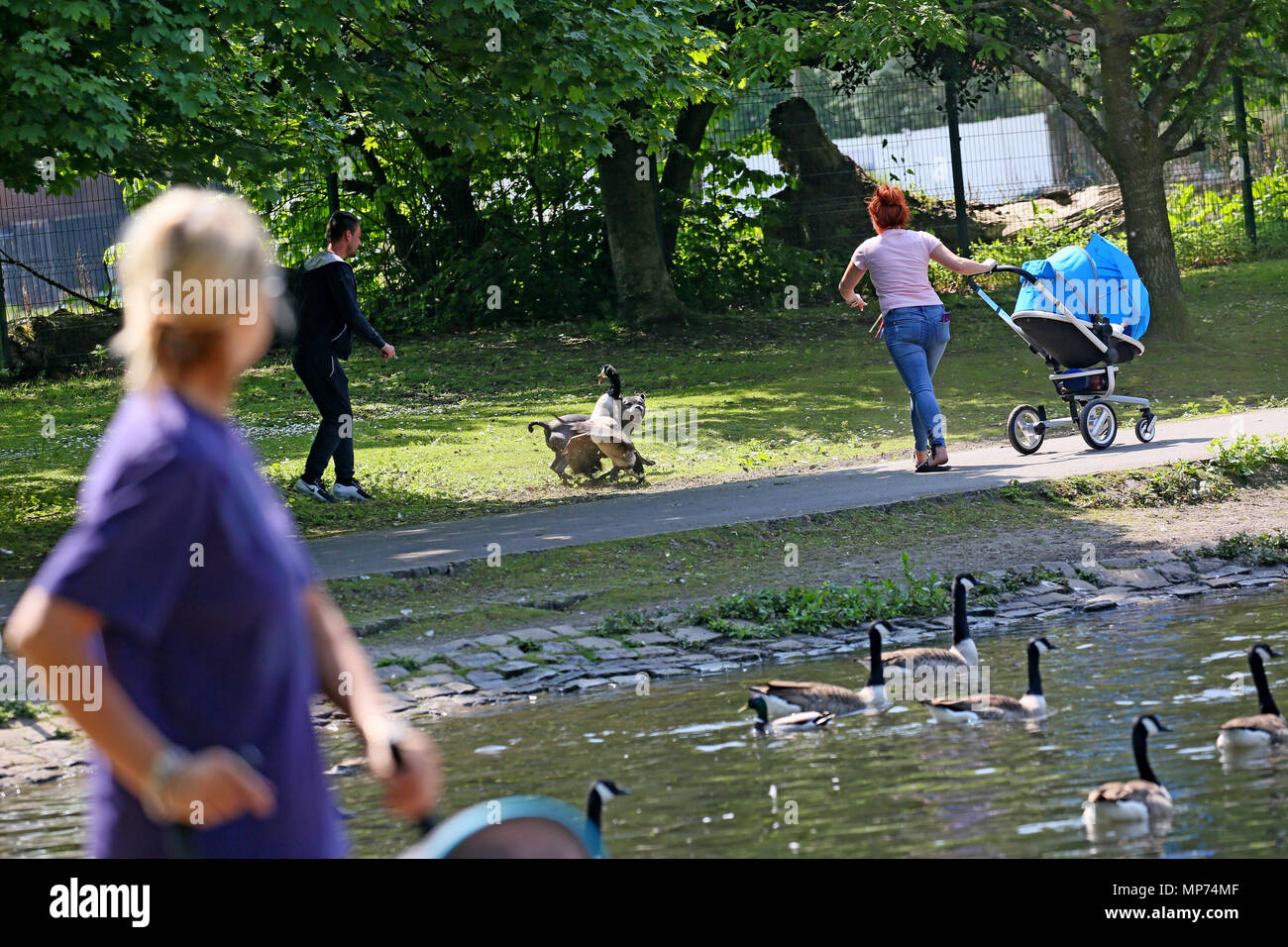 Heywood, UK. 21st May 2018. An out of control Staffordshire Bull Terrier attacking a Canadian goose.  The Geese are particularly defensive at this time of year due to protecting young Goslings, Queens Park, Heywood ,21st May, 2018 (C)Barbara Cook/Alamy Live News - Stock Image