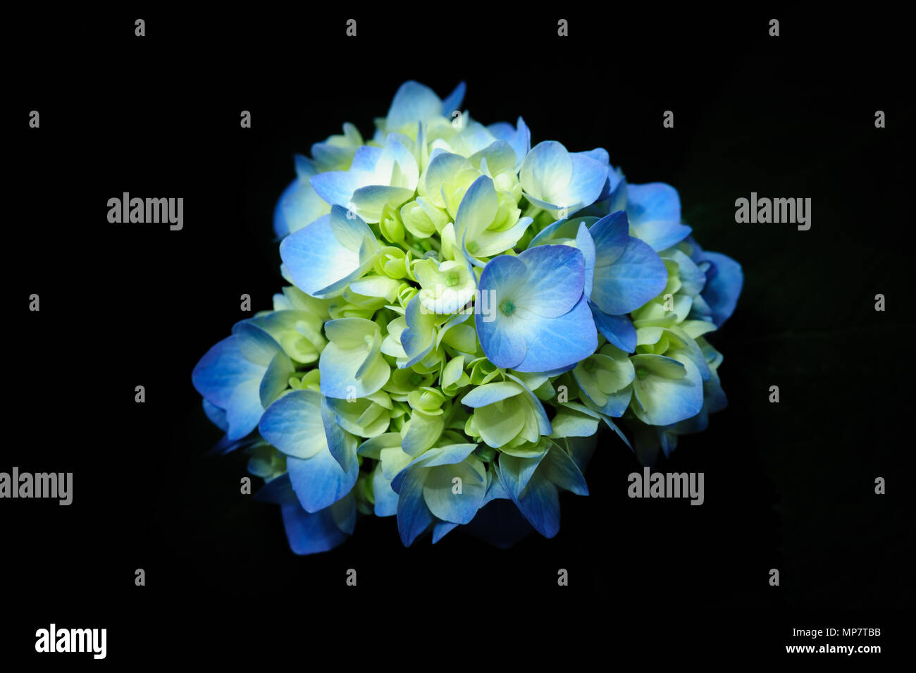 Beautiful And Fragrant Hydrangea Macrophylla Flower Blue And Yellow