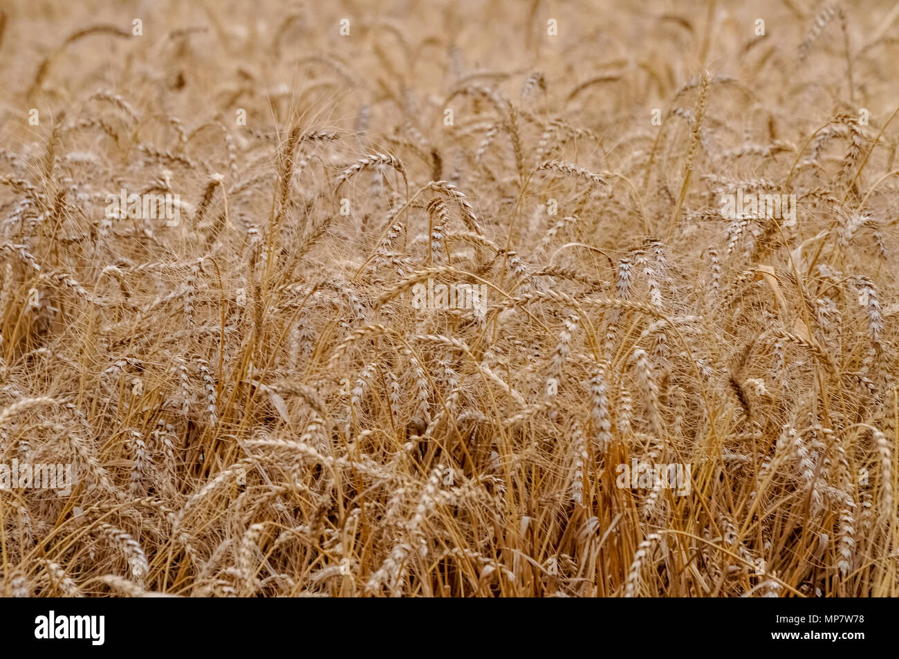Ripe, Golden wheat stalks in a field before harvest Stock Photo