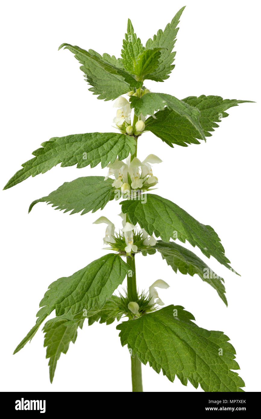 Twig of fresh white dead nettle isolated on white background - Stock Image
