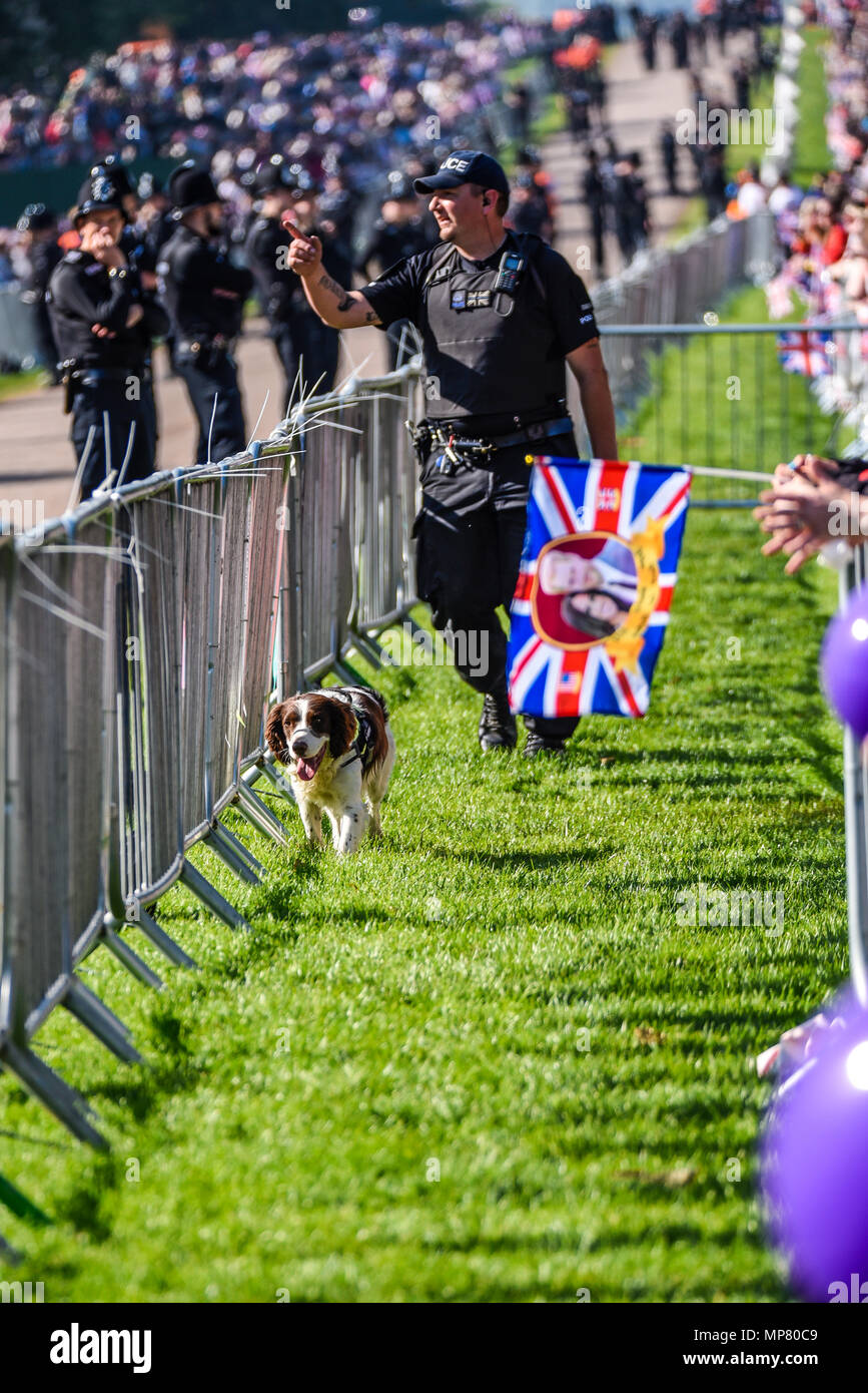 Royal wedding. Police sniffer dogs patrolling the crowd line along The Long Walk, Windsor. Security prior to Meghan Markle and Prince Harry wedding - Stock Image