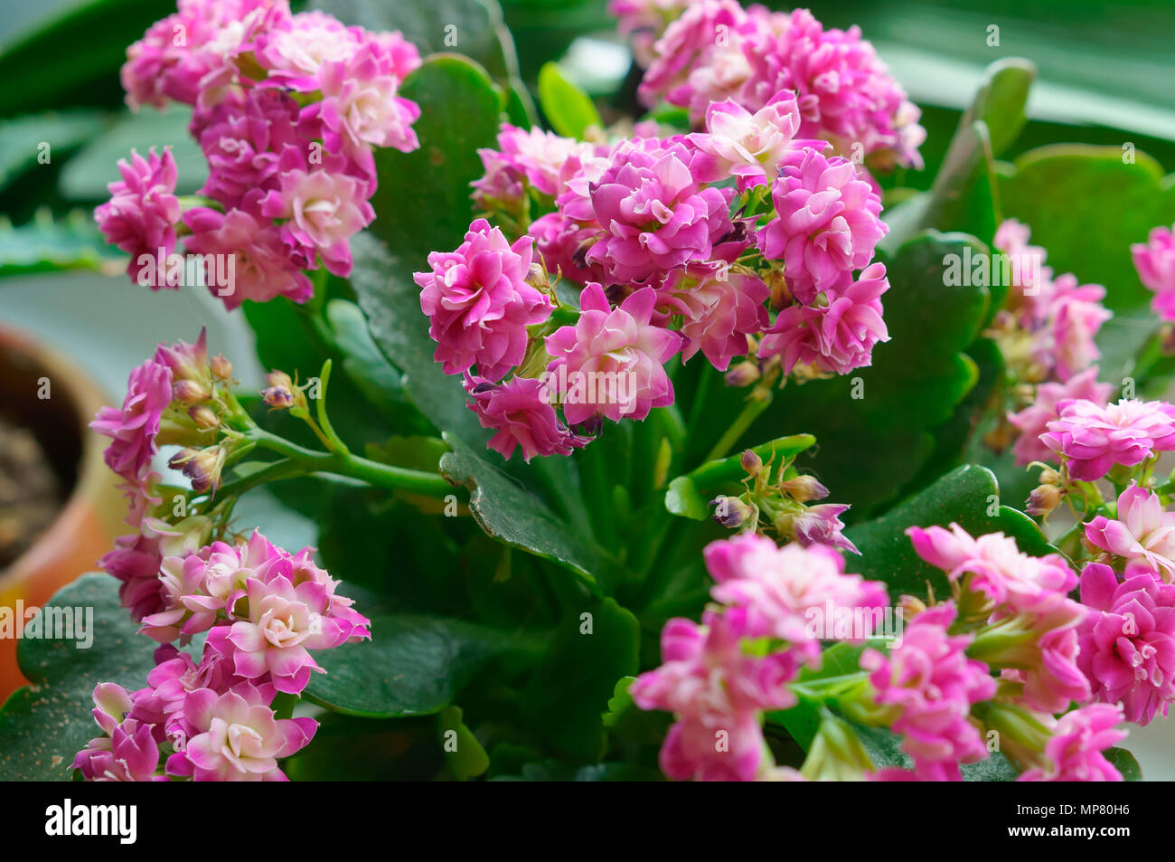 Kalanchoe Potted Plant With Small Pink Flowers And Thick Leaves