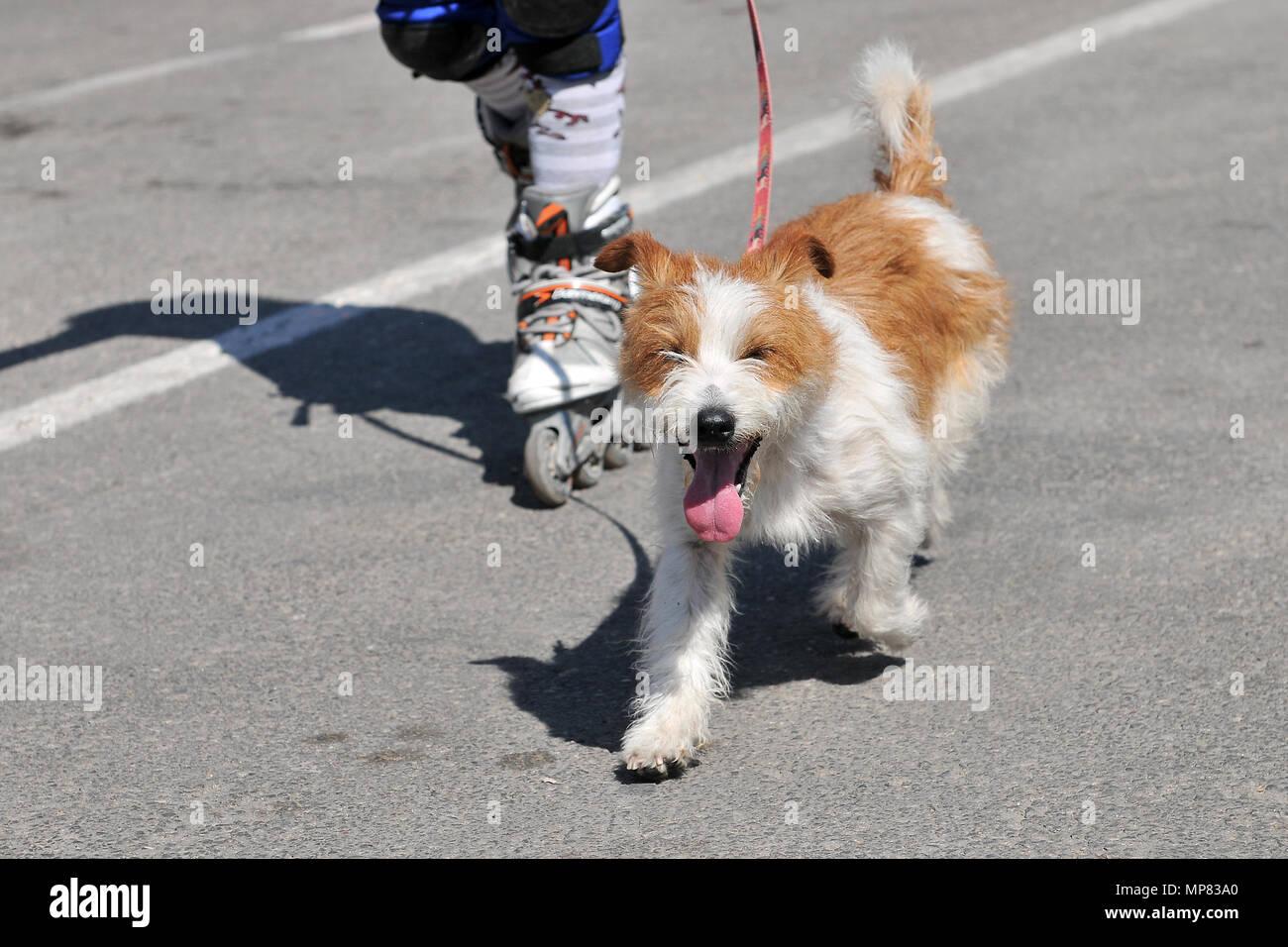 Perro doméstico en carrera de runners. - Stock Image