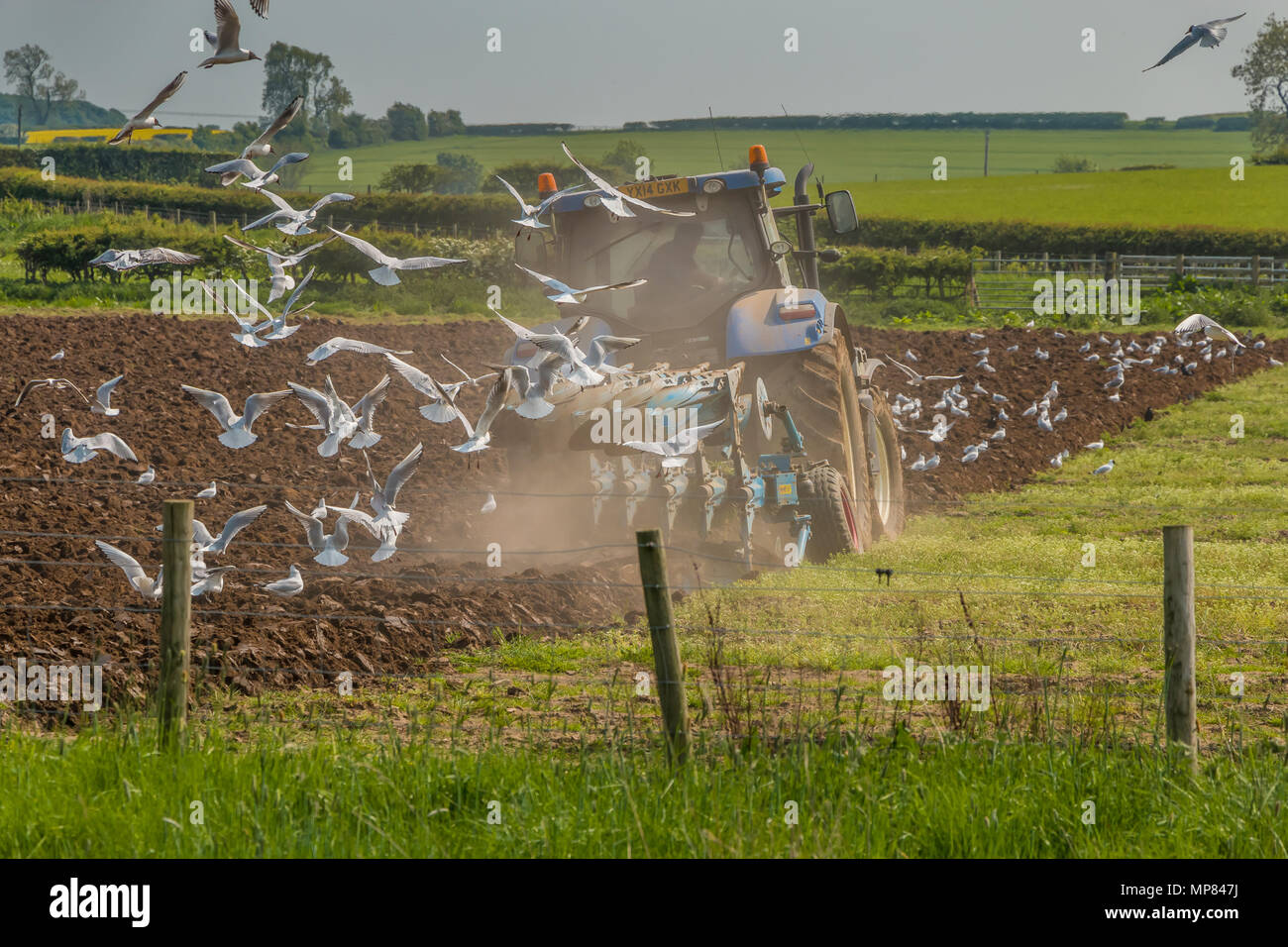 A tractor and plough at work in dusty spring conditions, with a flock of gulls following the plough - Stock Image