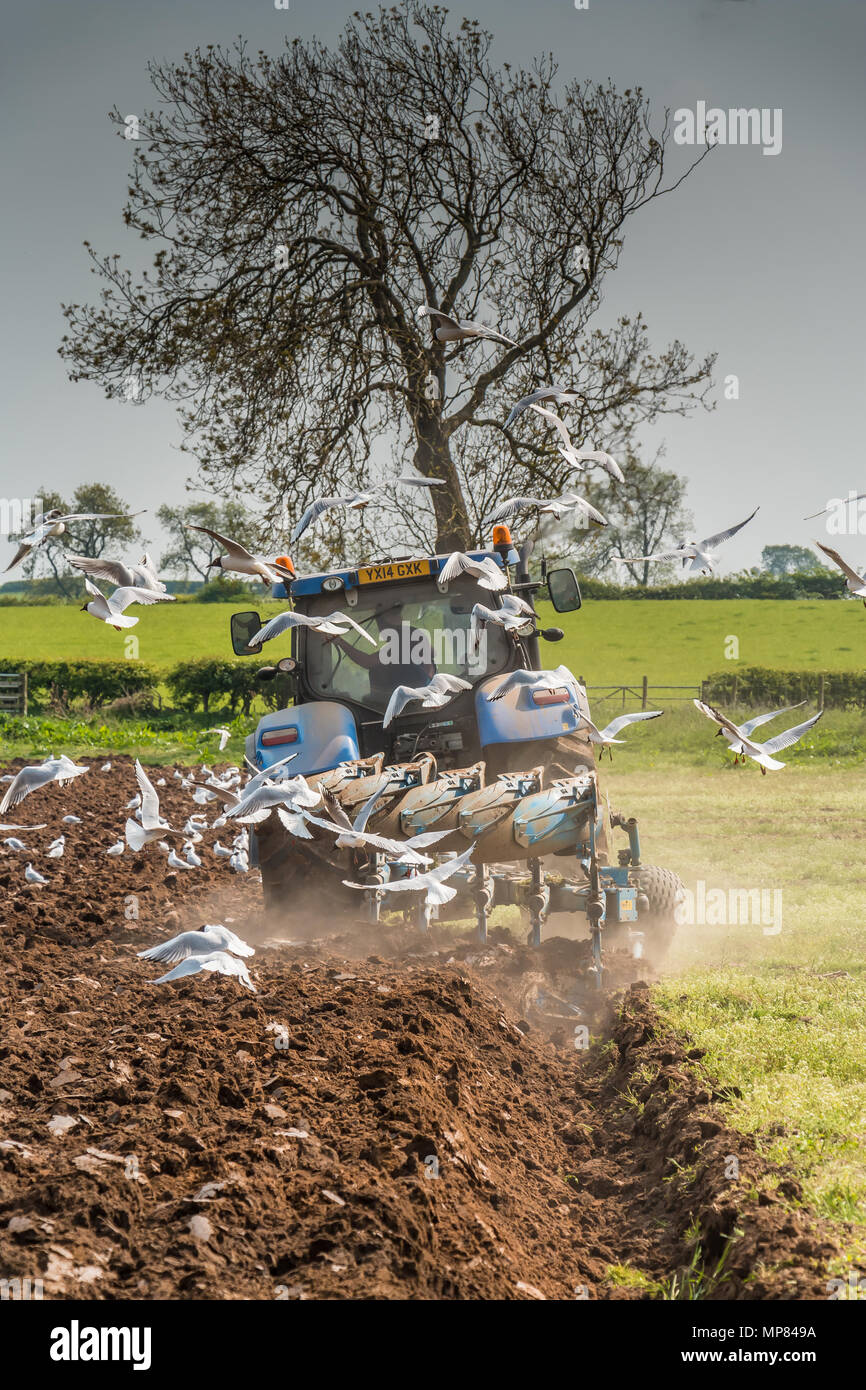 A tractor and plough at work in dusty spring conditions, with a flock of gulls following the plough, with copy space - Stock Image
