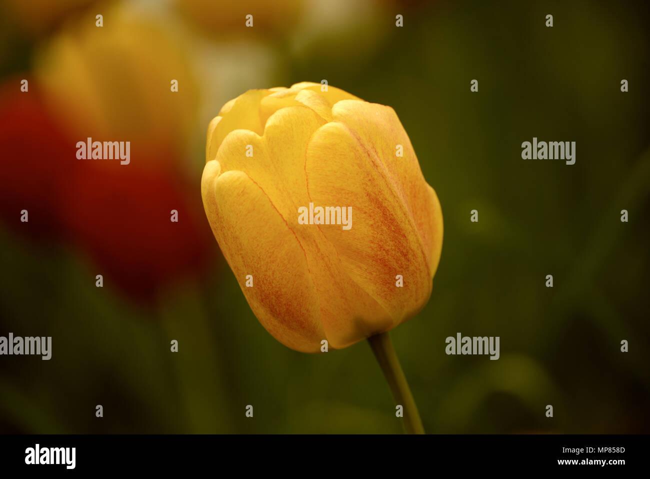 Single tulip flower - Stock Image