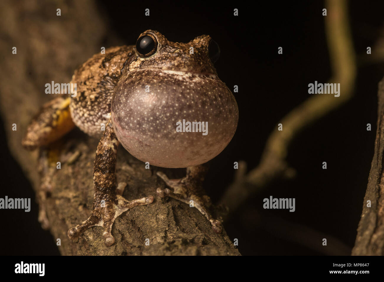 A male Cope's gray tree frog (Hyla chrysoscelis) loudly trilling from a tree branch in order to attract a female. - Stock Image
