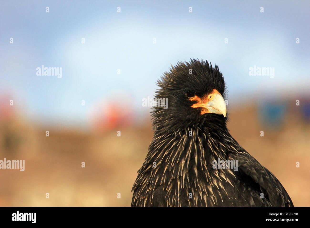 Striated Caracara, phalcoboenus australis, Falkland Islands Stock Photo