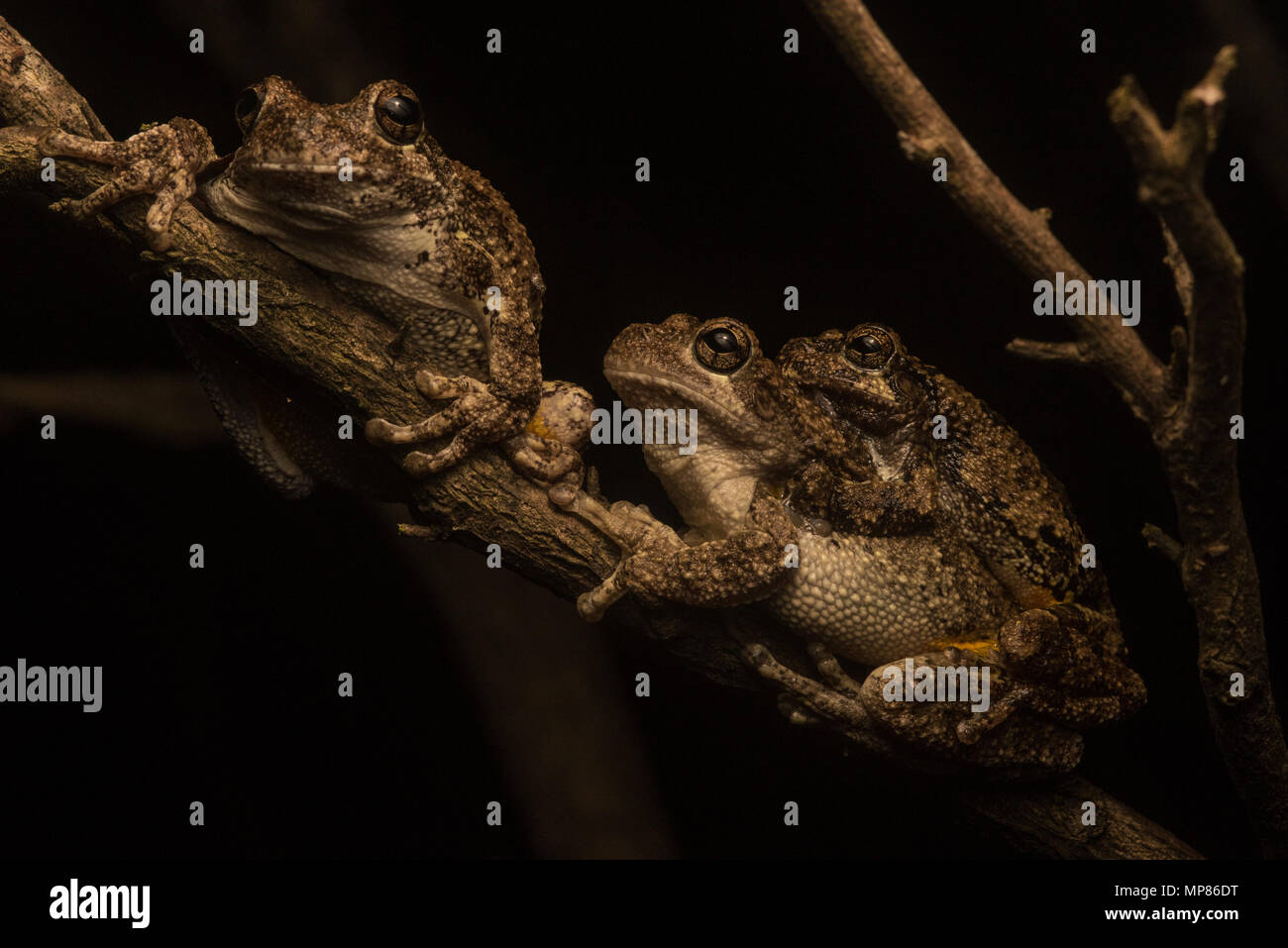Cope's Gray Treefrogs from North Carolina in amplexus, the smaller male holds onto the female until she lays eggs and he fertilizes them. - Stock Image