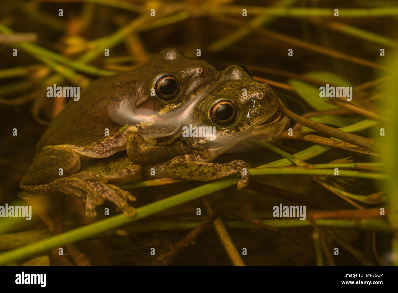 A pair of squirrel tree frogs (Hyla squirrela) in amplexus in a pool of water in the forest of North Carolina, USA. Stock Photo