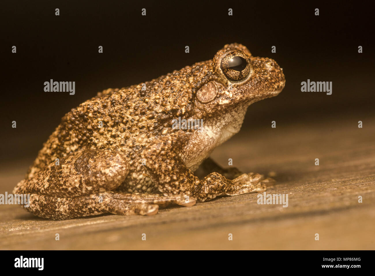 Copes gray treefrog (Hyla chrysoscelis) in some areas they are sympatric with gray treefrogs (Hyla versicolor) & can be differentiated by the call. - Stock Image