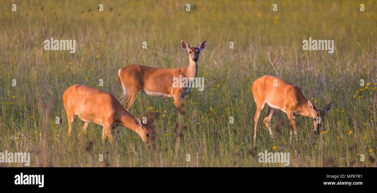 Wild deer in Myakka River State Park in Sarasota Florida - Stock Image