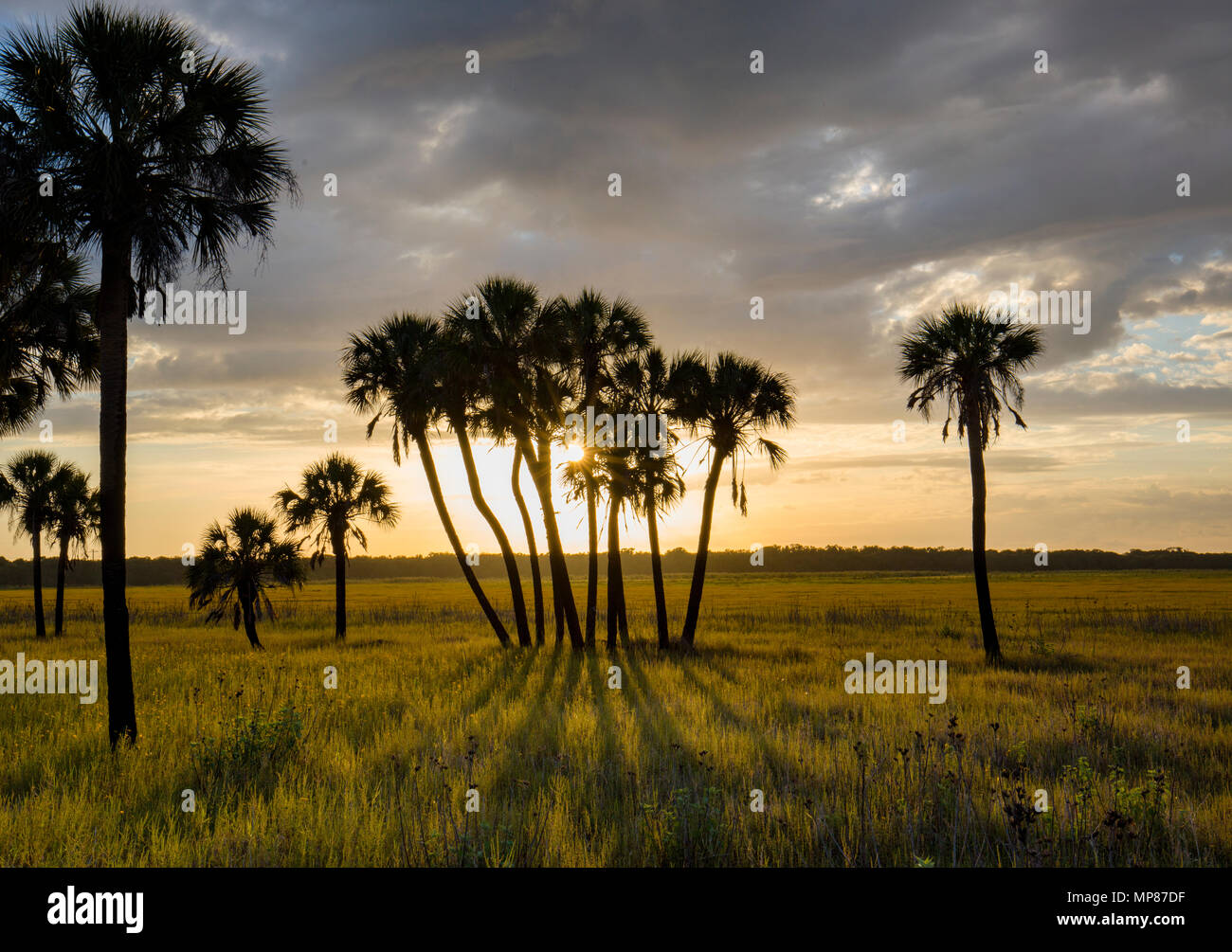 Late afternoon sun casting shadows from palm trees in Myakka River State Park in Sarasota Florida Stock Photo