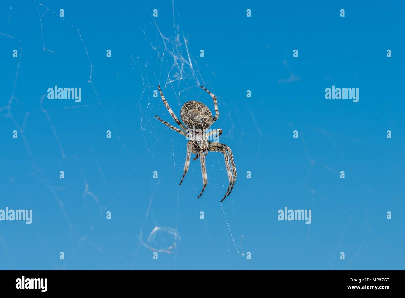 Closeup of a cross spider in its spider web - Stock Image