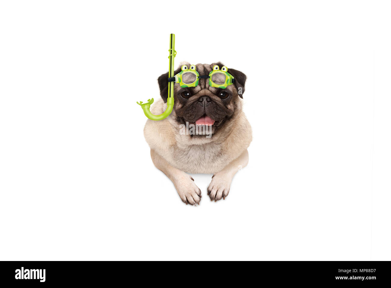 frolic smiling pug puppy dog with green snorkel and goggles, ready to dive, isolated , hanging with paws on white banner - Stock Image