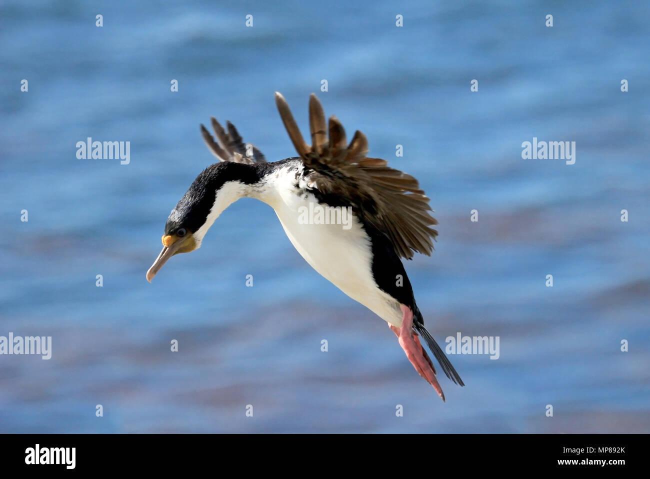 Imperial Shag Cormorant, phalacrocorax atriceps, Falkland Islands - Stock Image