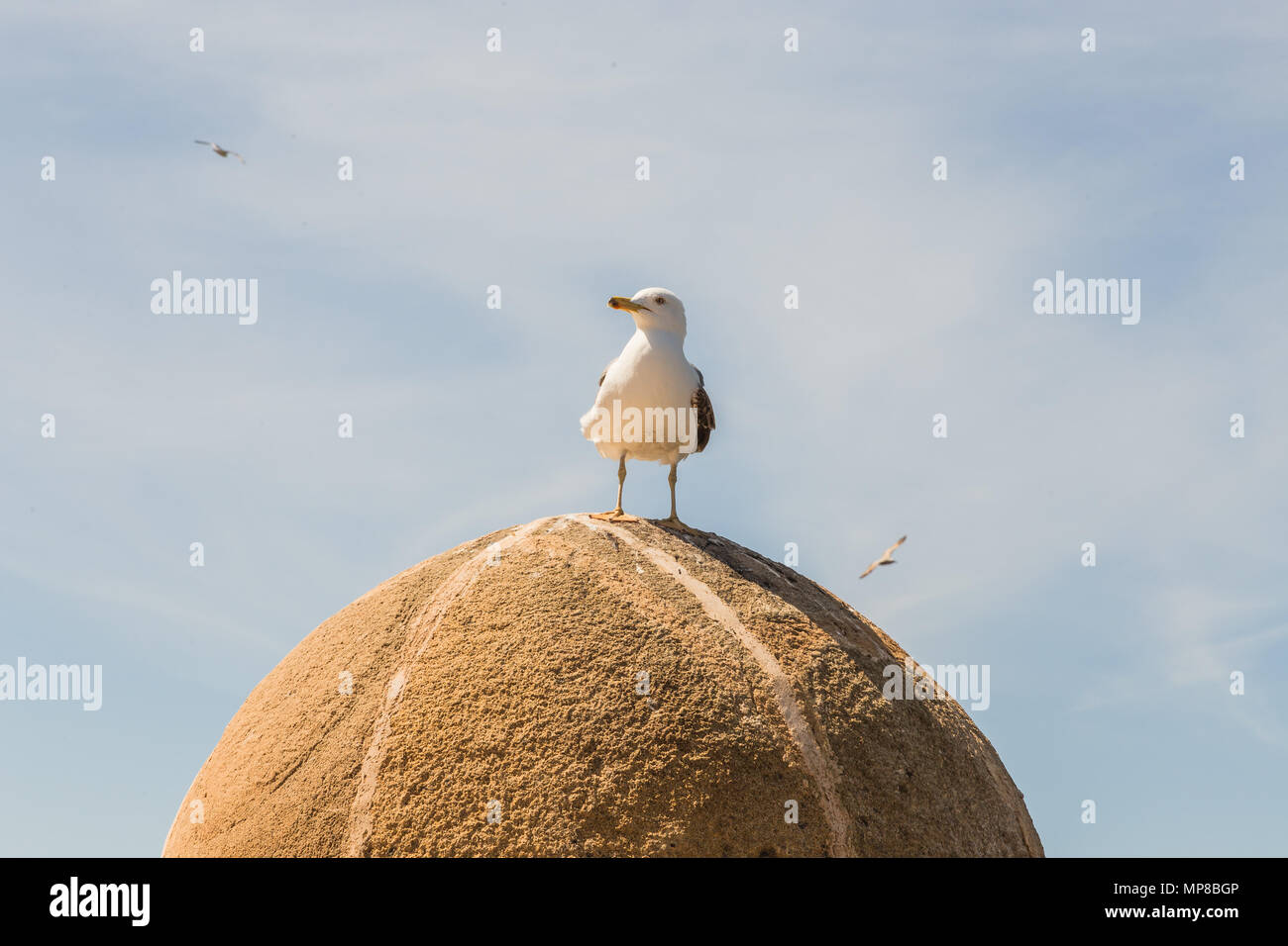 Seagull leaning on the walls of Essaouira. Stock Photo