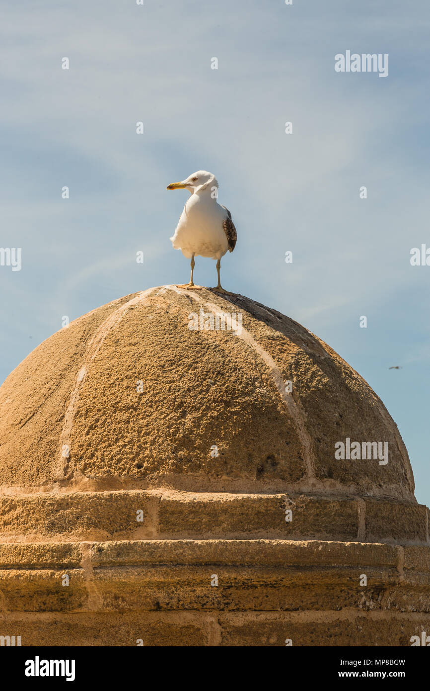Seagull leaning on the walls of Essaouira. - Stock Image
