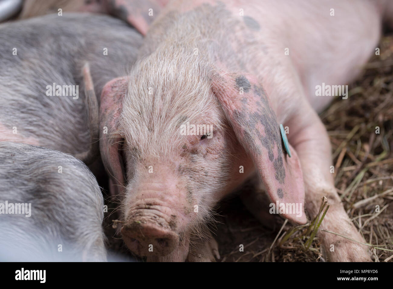 Portrait of a piglet - Stock Image