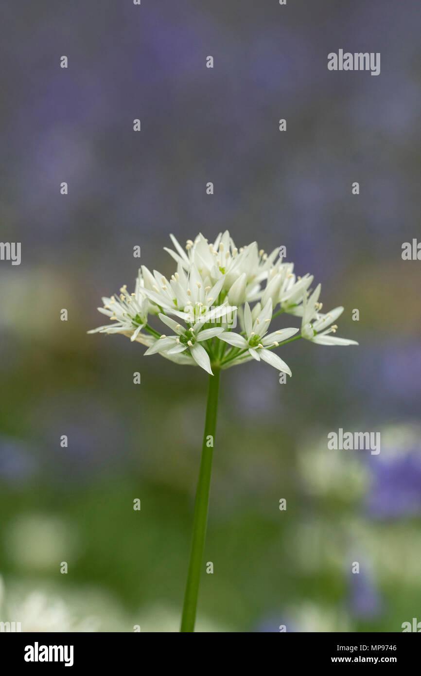 Wild Garlic, Allium ursinum, ramsons,flowering in a Berkshire woodland against a diffuse background of bluebells - Stock Image