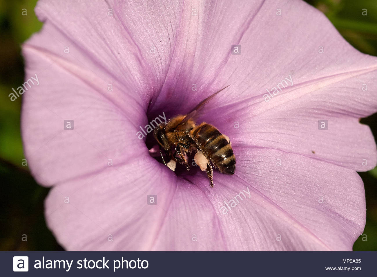 Macro image of a honey-bee pollinating a pink purple mauve Morning Glory(Convolvulaceae) flower - head-first into the bloom and covered in pollen. - Stock Image