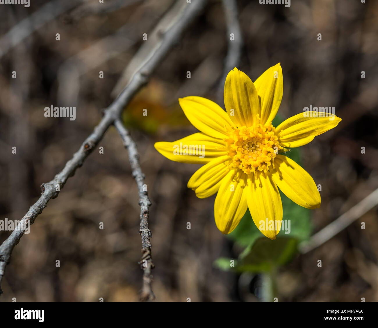 Yellow Daisy Like Flower Osteospermum Stock Photo 185831968 Alamy