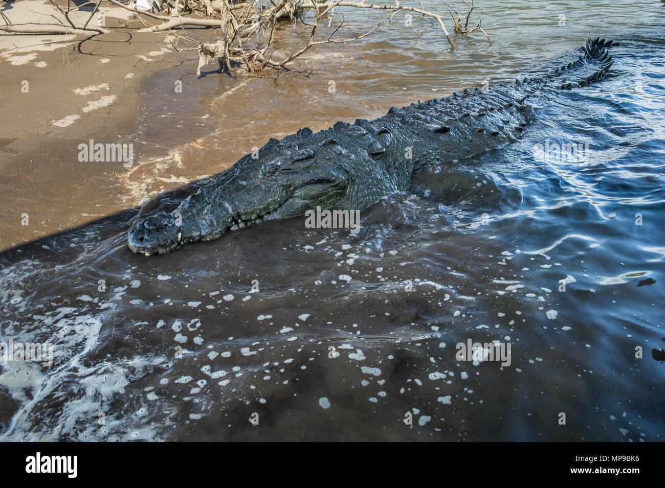 American Cocodile, Crocodylus acutus, Crocodylidae, Rio Tarcoles, Costa Rica, Centroamerica - Stock Image