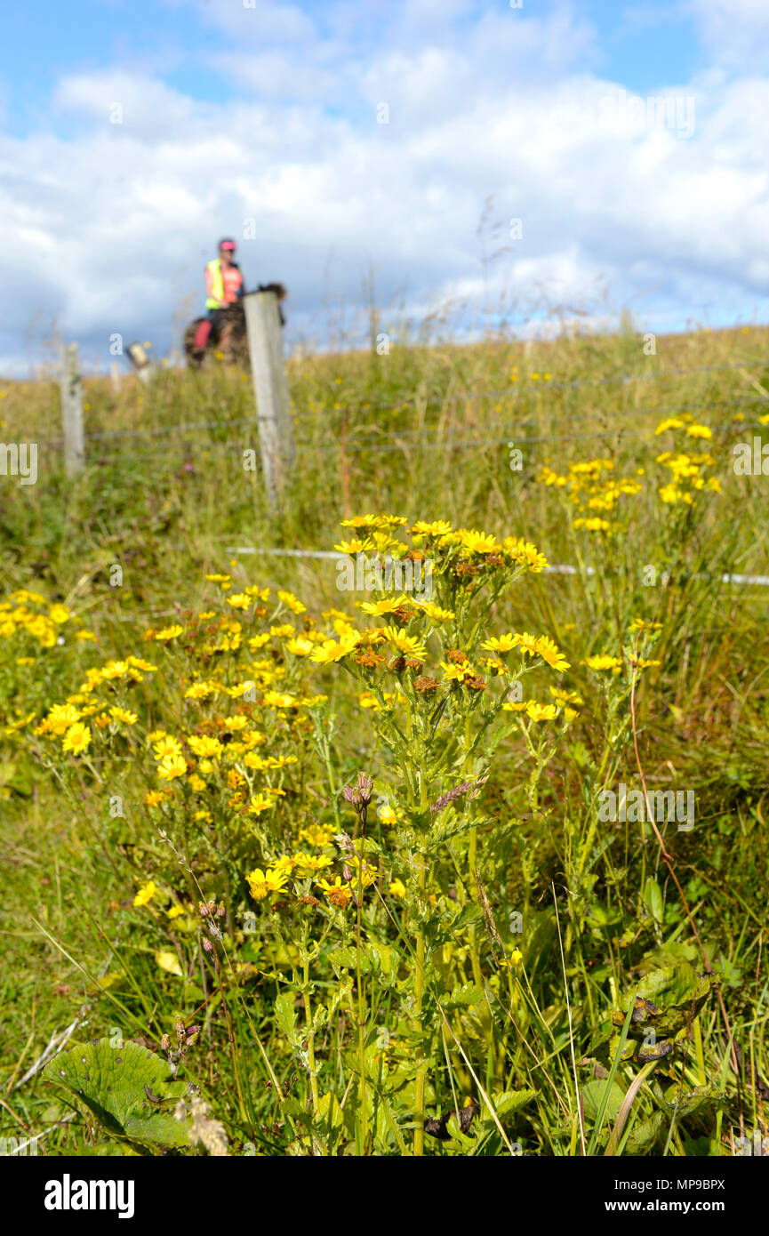 Horse and horse rider passing a patch of ragwort that is harmful and poisonous to horses and cattle and cows - Stock Image