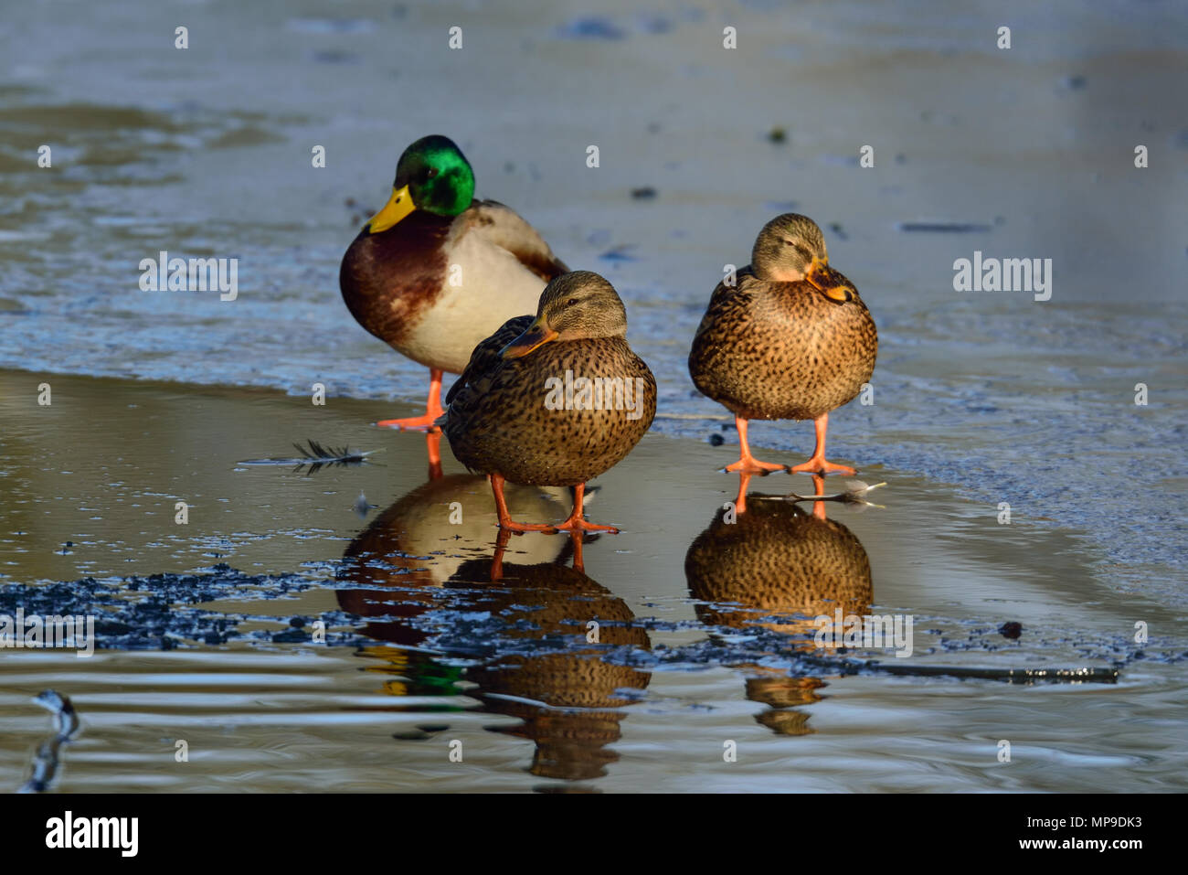 Mallard on ice, (anas platyrhynchos), germany - Stock Image