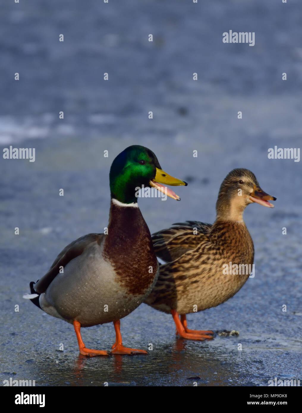 Mallard pair quack on ice, (anas platyrhynchos), germany - Stock Image