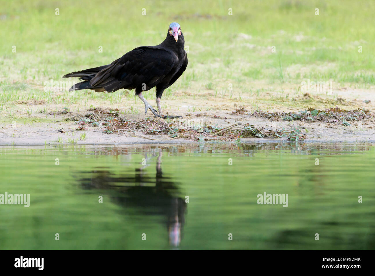 Lesser yellow-headed vulture (Cathartes burrovianus) at riverbank with reflection, Pantanal, Mato Grosso do Sul, Brazil Stock Photo