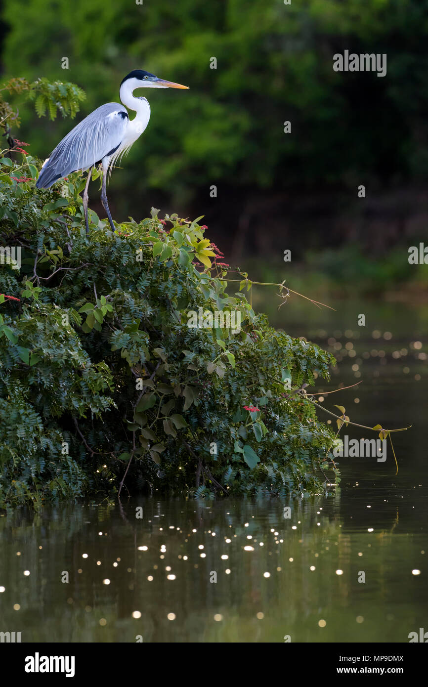 Cocoi Heron (Ardea cocoi) hunting in river at sunset, Pantanal, Mato Grosso, Brazil - Stock Image