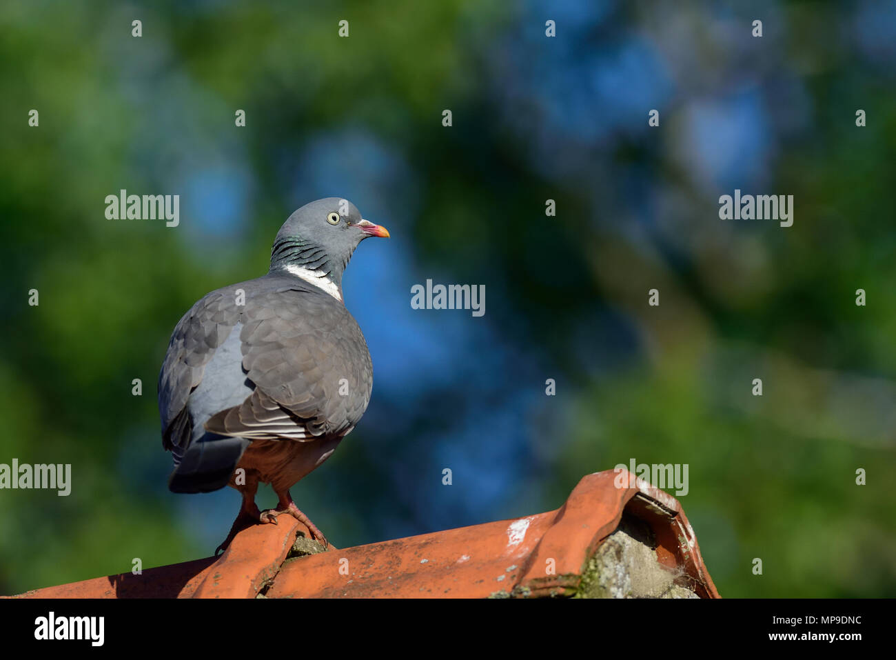 Woodpigeon on the house roof, (columba palumbus), germany Stock Photo
