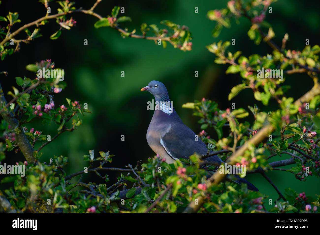 Woodpigeon in the apple tree, spring, (columba palumbus), germany Stock Photo