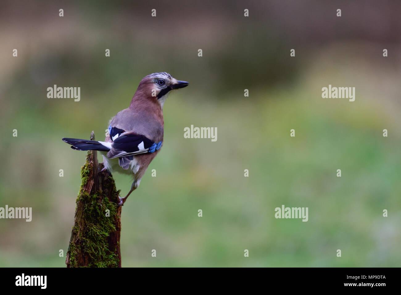 Jay is looking for predators, on the wood, (Garrulus glandarius) - Stock Image
