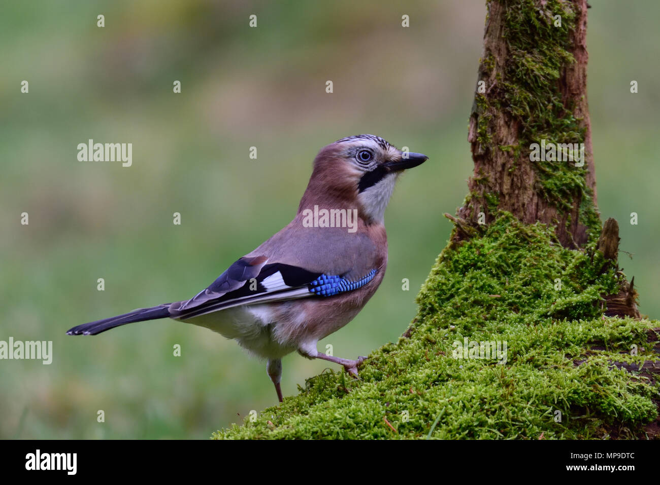 jay on the wood - Stock Image