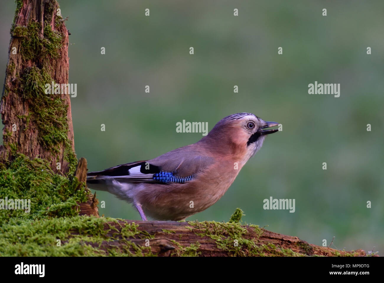 Jay looking to the right, on the wood, (Garrulus glandarius) - Stock Image