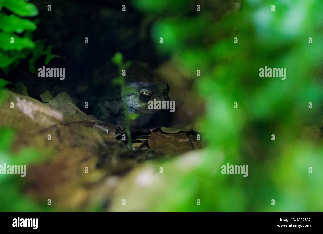 Gold eyed frog hiding in undergrowth Stock Photo