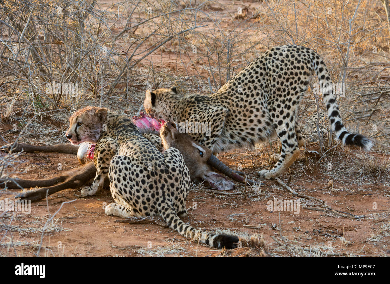 Two cheetahs sharing their kill of a waterbuffalo in Madikwe South Africa - Stock Image