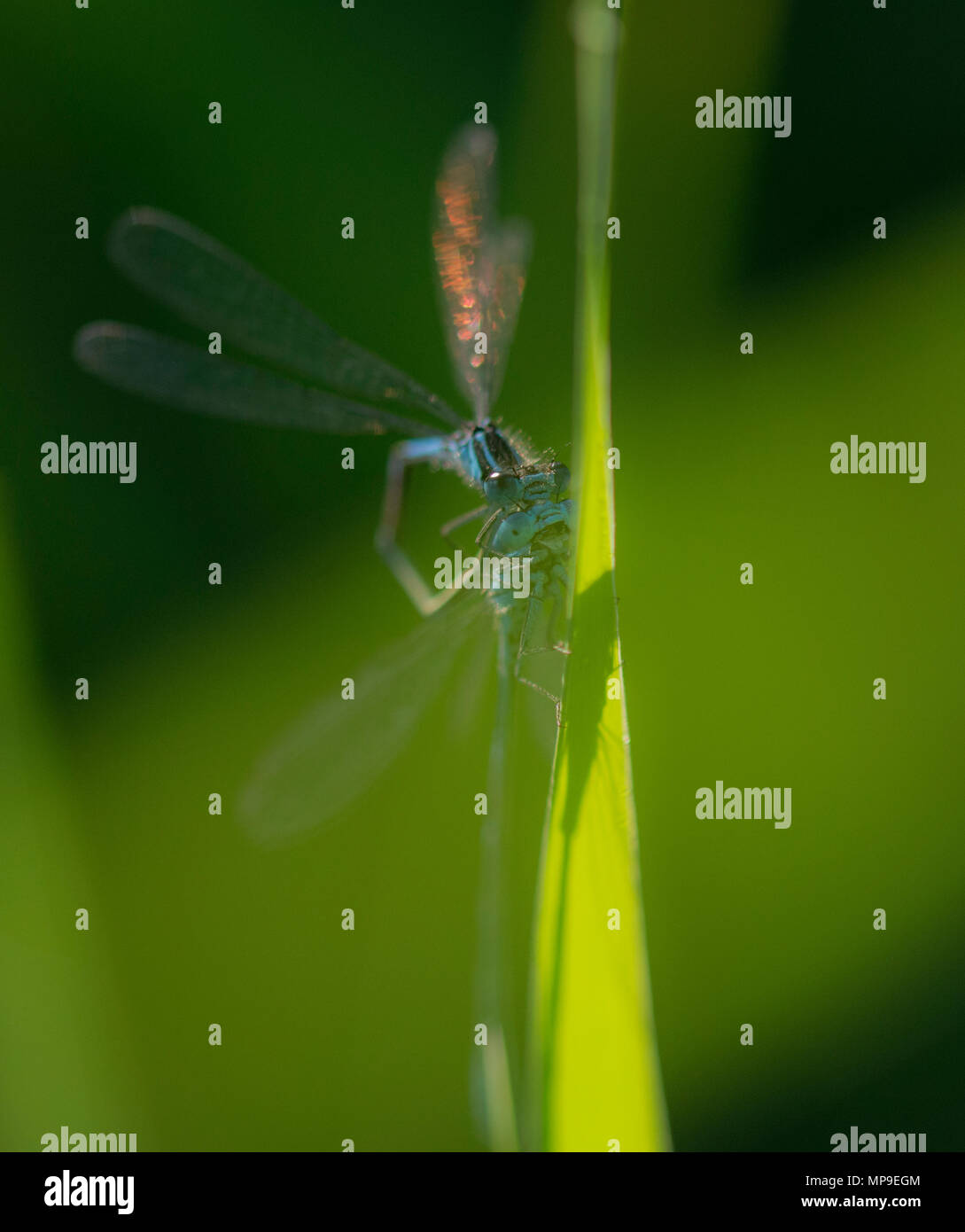 Cute damselfly on a blade of grass looking round - Stock Image