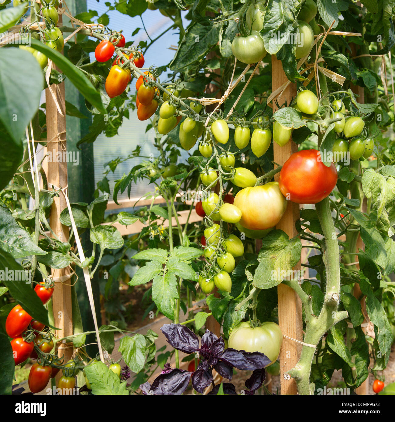 Fresh tomatoes ripening in the greenhouse  Agriculture, food