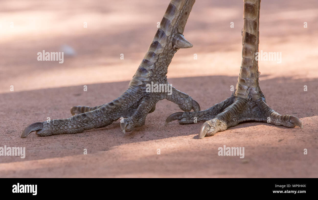 Closeup of peafowl feet - Stock Image