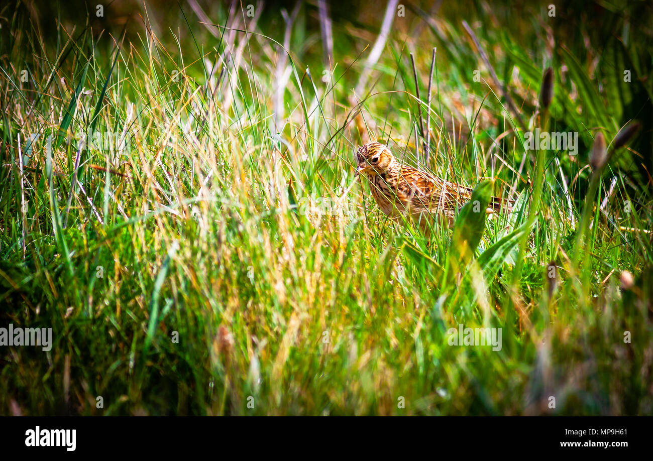 British Summer Skylark - Stock Image