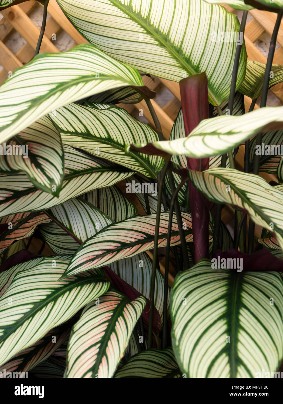 Green veined white leaves of the exotic foliage evergreen houseplant on white and green leaves weed, epipremnum pothos house plant, potted white azalea plant, serene peace plant, white calla lily plants,