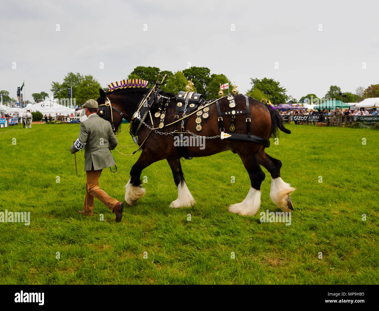 Shire horse Fifield Admiral in full brass decorated harness in hand at the Devon County show 2018 - Stock Image