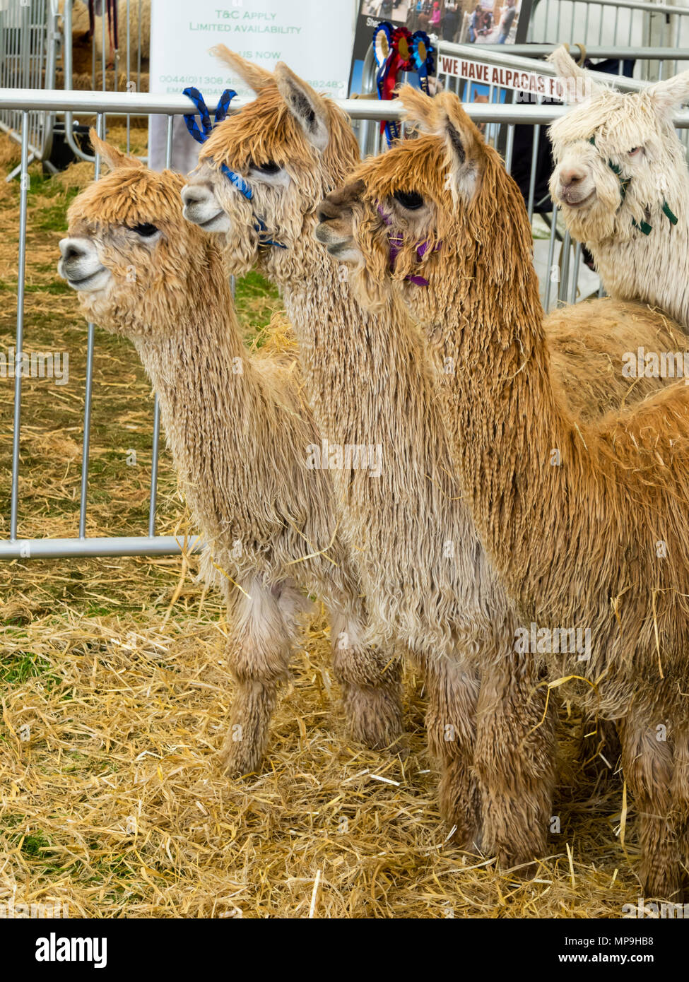 Curious Suri type Alpacas with draping locks of lustrous silky fibre at The Devon County show,2018 - Stock Image