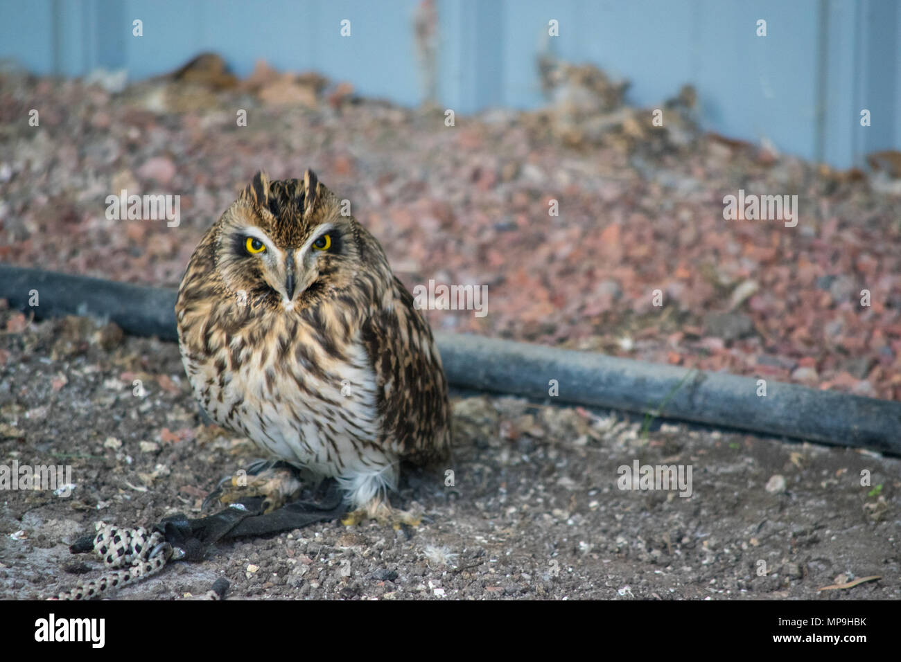 Short-eared owl (asio flammeus) is a species of typical owl (family Strigidae). Alberta Birds of Prey Foundation, Coaldale, Alberta. - Stock Image