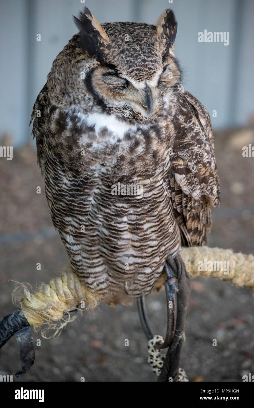 Sleeping Great Horned Owl (Bubo virginianus), also known as the tiger owl is a large owl native to the Americas. Stock Photo