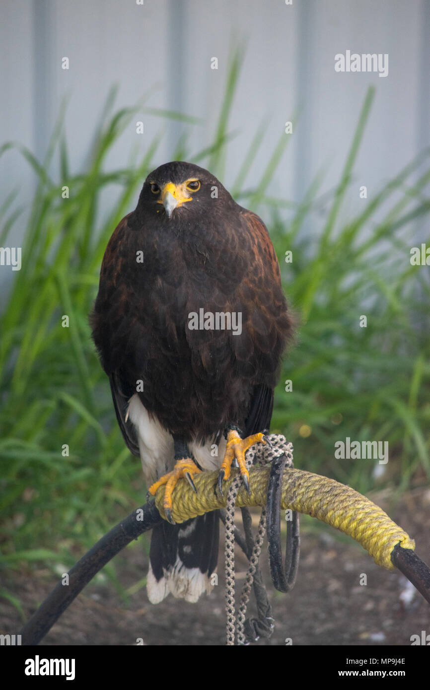 Harrier is a species of diurnal hawk placed in the Circinae sub-family of the Accipitridae family of birds of prey. Alberta Birds of Prey Foundation,  - Stock Image